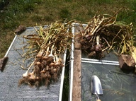 food garlic garlic_harvest // 2592x1936 // 2.7MB