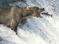 bear fish nanosecond photo salmon waterfall // 650x488 // 74.9KB
